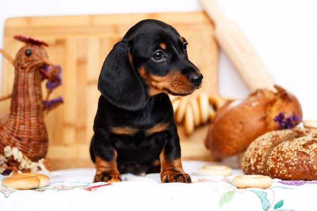 Cachorro de perro salchicha en la cocina
