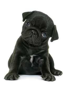 Cachorro pug negro