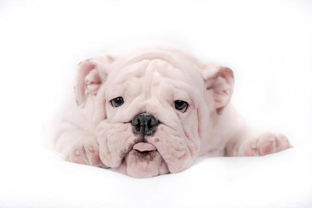 Cachorro raza bulldog inglés sobre un fondo blanco. aislar.
