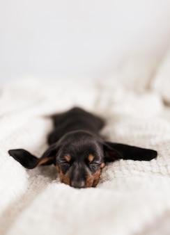 Cachorro de sabueso austriaco negro y fuego durmiendo