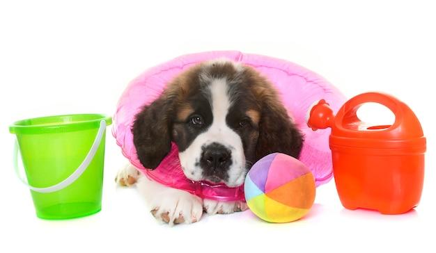 Cachorro san bernard y verano