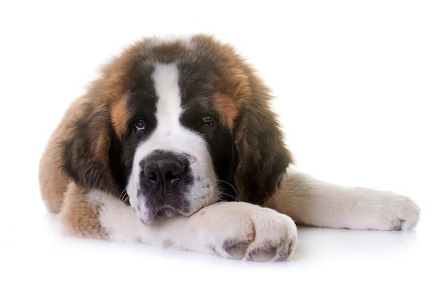 Cachorro san bernard