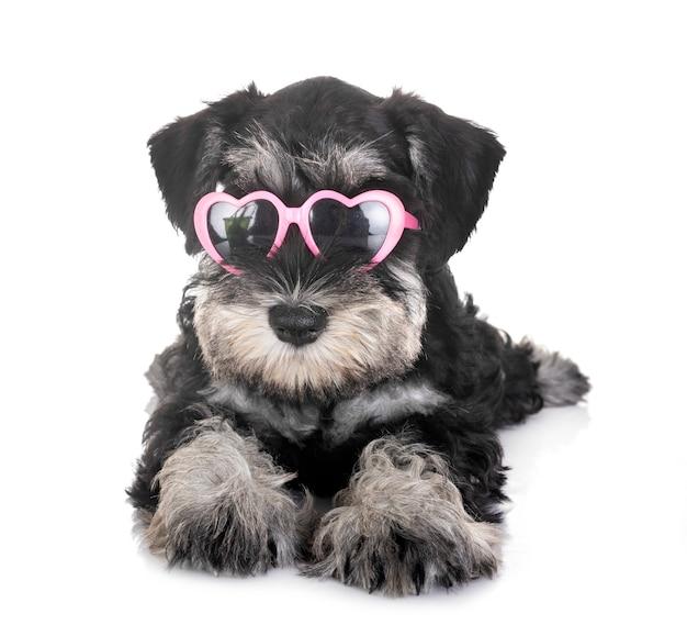 Cachorro schnauzer miniatura