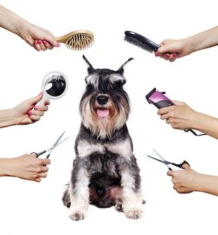 Cachorro schnauzer rodeado de manos sosteniendo herramientas de peluquería aisladas en blanco