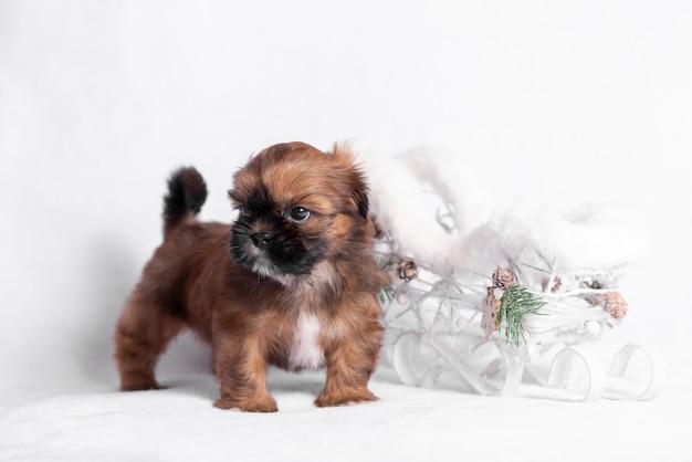 Cachorro shih tzu en un blanco con un trineo de navidad.