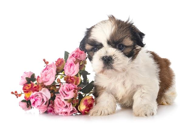 Cachorro shih tzu delante de un fondo blanco