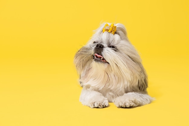 Cachorro de shih-tzu con lazo naranja. lindo perrito o mascota está mintiendo aislado sobre fondo amarillo. el perro crisantemo. espacio negativo para insertar su texto o imagen.