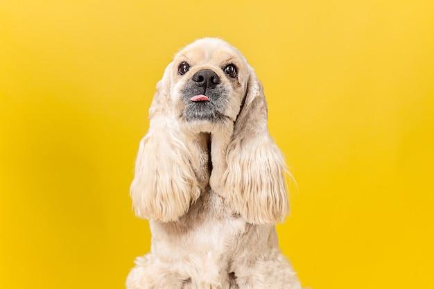 Cachorro de spaniel americano