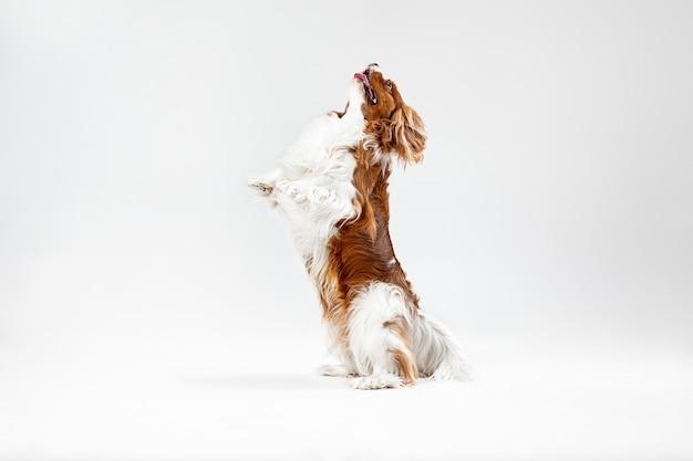 Cachorro spaniel jugando en el estudio. lindo perrito o mascota está saltando aislado sobre fondo blanco. el cavalier king charles. espacio negativo para insertar su texto o imagen. concepto de movimiento, derechos de los animales.