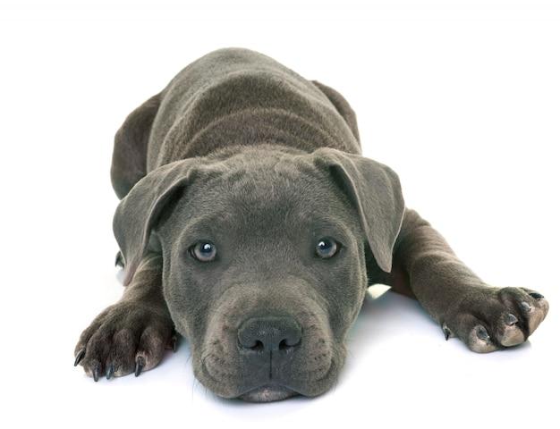 Cachorro staffordshire bull terrier