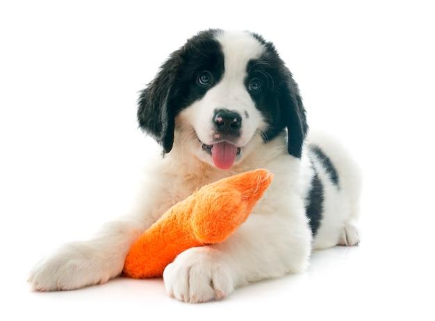 Cachorro terrateniente