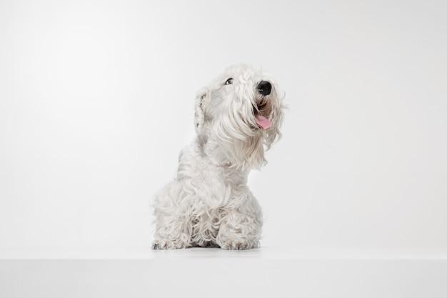 Cachorro de terrier arreglado con pelaje esponjoso