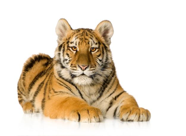Cachorro de tigre (5 meses) delante en un blanco aislado
