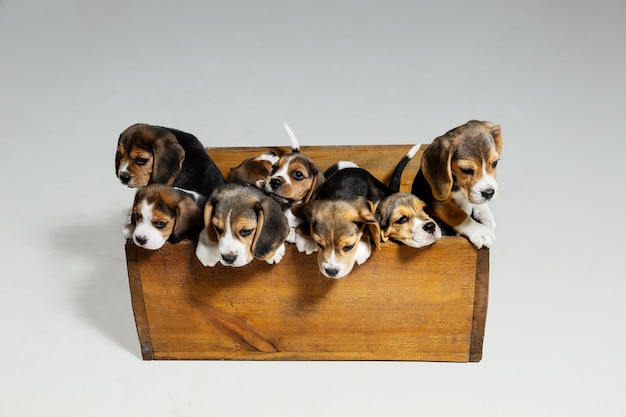 Cachorros beagle tricolor están posando en caja de madera. lindos perritos o mascotas jugando en la pared blanca. mire atento y juguetón. concepto de movimiento, movimiento, acción. espacio negativo.