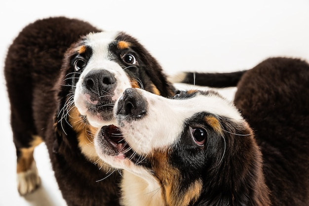 Cachorros berner sennenhund posando. lindo perrito o mascota blanco-braun-negro está jugando sobre fondo blanco. parece atenta y juguetona. foto de estudio. concepto de movimiento, movimiento, acción. espacio negativo.
