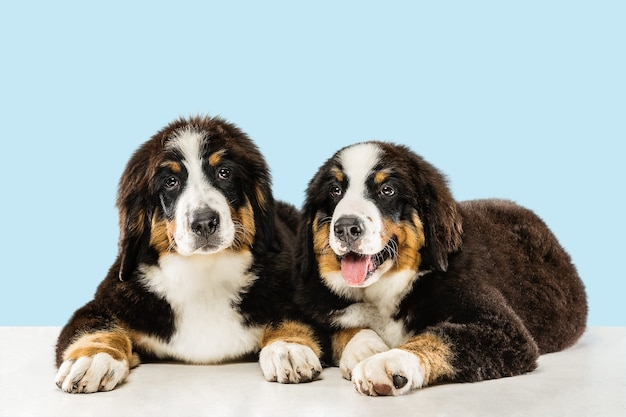 Cachorros berner sennenhund posando