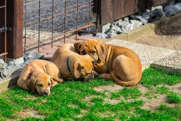 Cachorros boerboel sudafricanos: el juego al aire libre en el jardín.