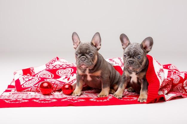 Cachorros de bulldog francés con manta navideña y adornos