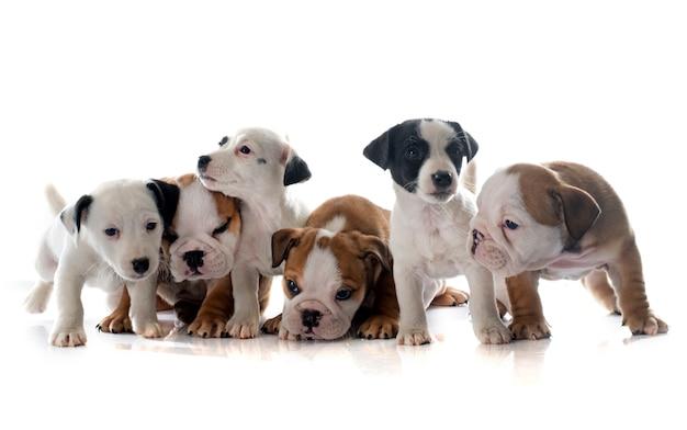 Cachorros bulldog inglés y jack russel terrier