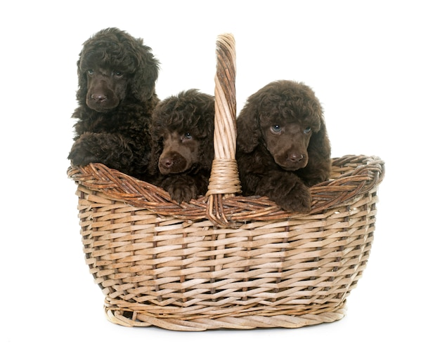 Cachorros caniches marrones