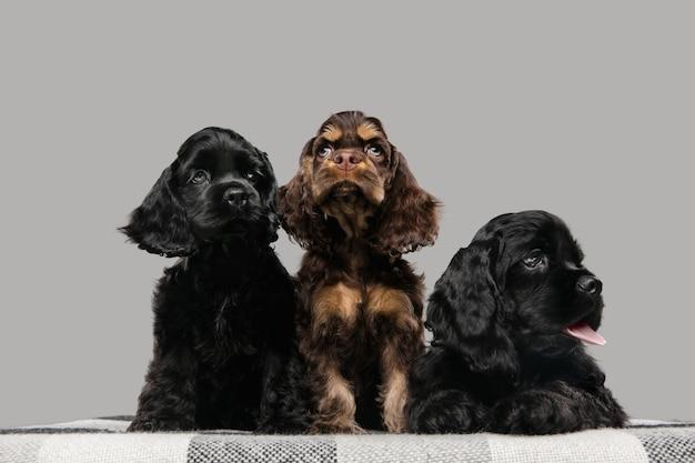 Cachorros de cocker spaniel americano posando. lindos perritos o mascotas de color negro oscuro jugando sobre fondo gris.