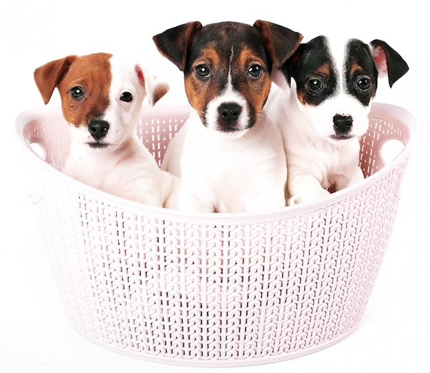Cachorros jack russell terrier en una canasta rosa