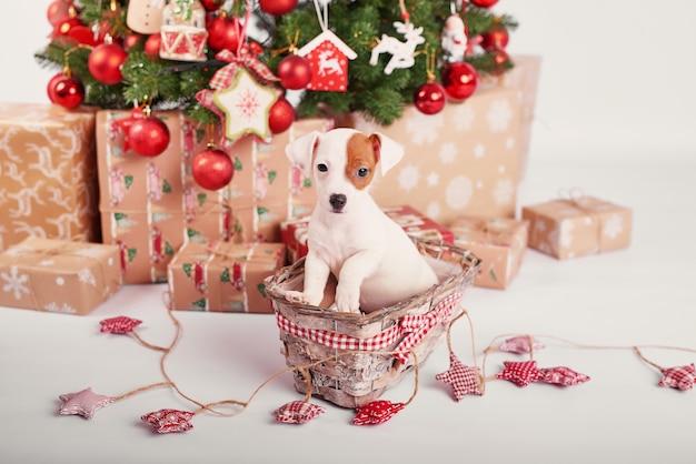 Cachorros jack russell terrier en interior de año nuevo