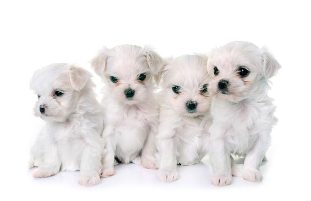 Cachorros perros malteses