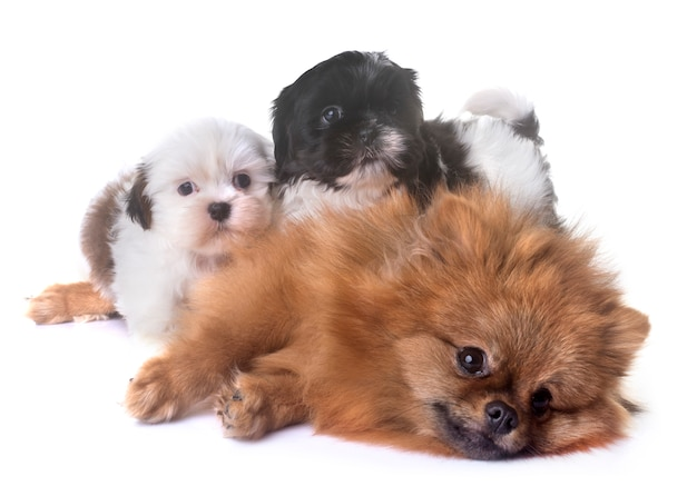 Cachorros shih tzu y spitz