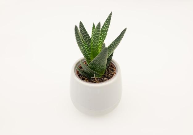 Cactus en blanco