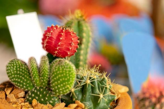 Cactus espinoso rojo y verde en una olla.