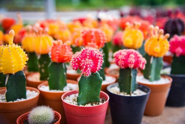 Cactus de gymnocalycium / cactus de flores de colores rojo y amarillo hermoso en maceta
