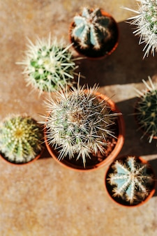 Cactus en una maceta