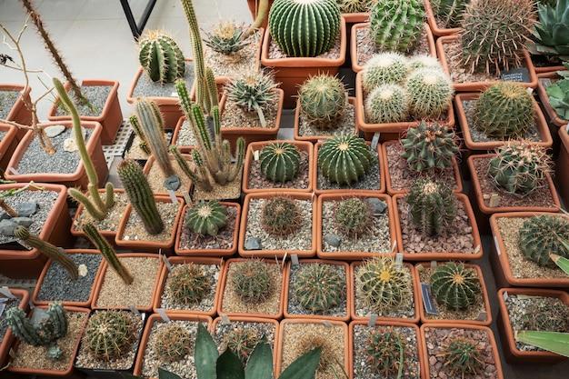 Los cactus en macetas crecen en un invernadero cerrado.