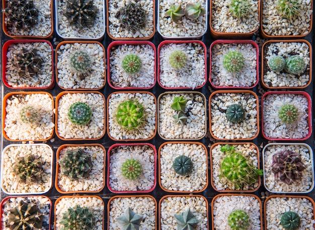 Cactus plantado en macetas para decorar la casa.