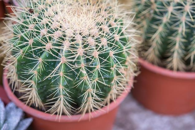 Cactus, suculentas, espinas, primer plano de papel tapiz, planta de interior