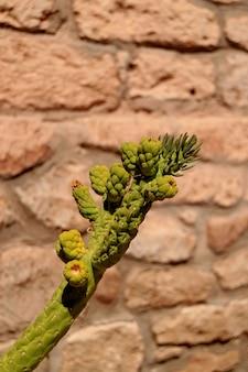 Cactus verde contra muro de piedra en bruto en la ciudad de toconao, desierto de atacama, chile