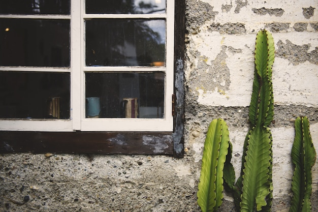 Cactus verde crecido frente a un viejo muro de hormigón cerca de las ventanas viejas