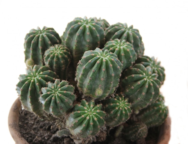 Cactus verde sobre fondo blanco