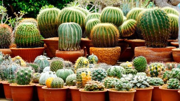 Cactus en el vivero cactus granja agrícola invernadero con luz solar