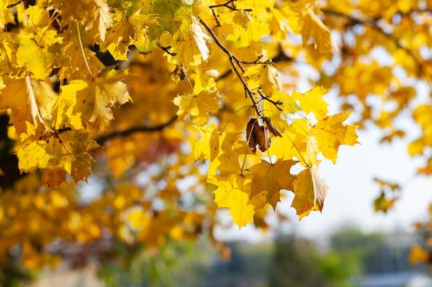 Caen las hojas de arce amarillas en el cielo azul.