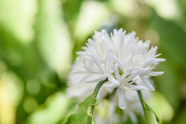 Cafeto con flor de flor de color blanco y hojas verdes en el jardín