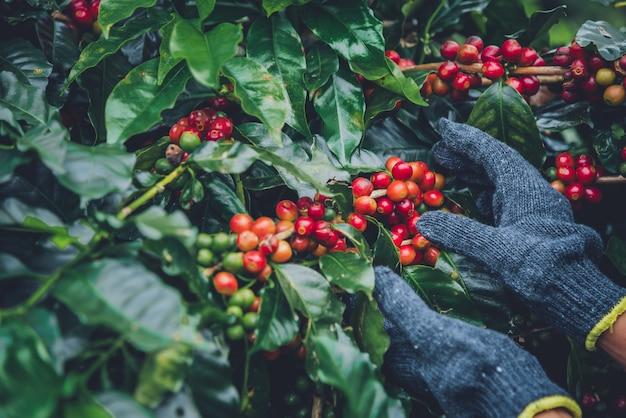 Cafeto con granos de café en la plantación de café, cómo cosechar granos de café. trabajador cosecha de granos de café arábica.