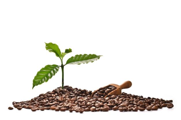 Cafeto y pala sobre un montón de granos de café aislados en blanco, buenos granos de café provienen de una buena raza de café