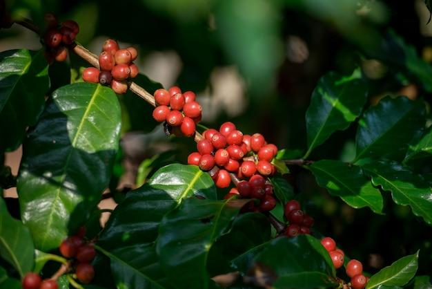 Cafeto, plantación de café, granos de café, granos de café en el cafeto.