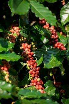 Cafetos en el jardín de café, especies de árboles de café arábica.