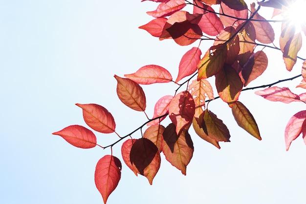 Caída en el bosque. árbol de primavera con hojas rojas y rayos de luz solar.