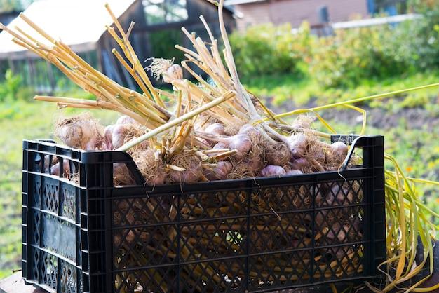 Caja de ajo fresco de jardín, nueva cosecha, comida vegetariana.
