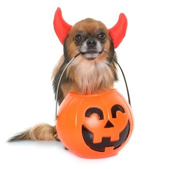 Calabaza de halloween y chihuahua