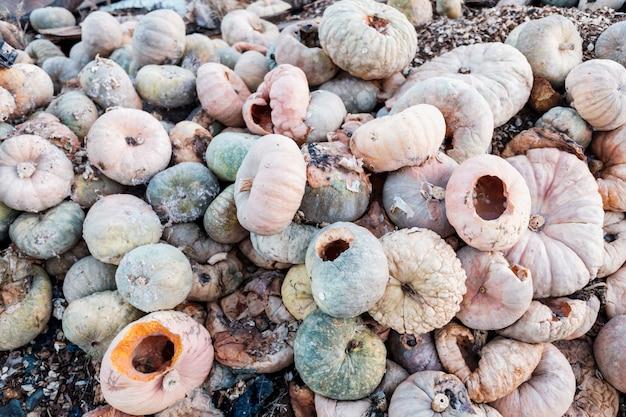 Calabazas podridas arrojadas al suelo para usarlas como compost.